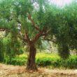 Dai monti Sicani l'olio Caruso profuma di Mediterraneo
