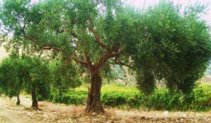 dai-monti-sicani-lolio-caruso-profuma-di-mediterraneo-2-300x175 Dai monti Sicani l'olio Caruso profuma di Mediterraneo